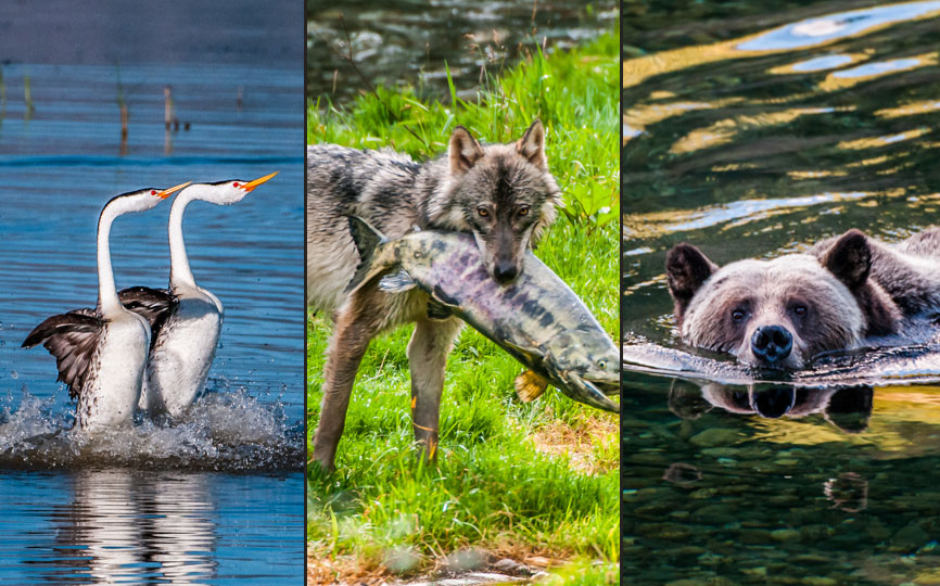 grizzly bear swimming, wolf with salmon in mouth, rushing grebes