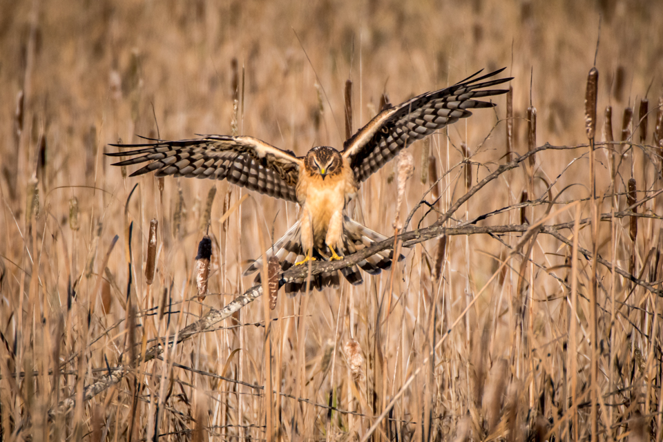 A female northern harrier hunts in the marsh.