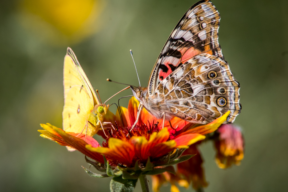 Painted Lady and Clouded Sulphur Butterflies on Indian Blanket Flowe