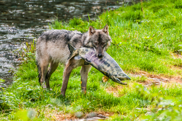 Wolf with chum salmon in caught in Alaska