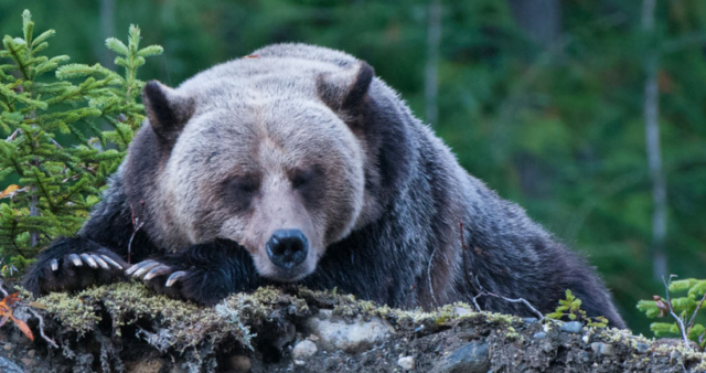 A sleepy grizzly bear takes a nap in between fishing for spawning salmon just before heading up to the mountains to hibernate.